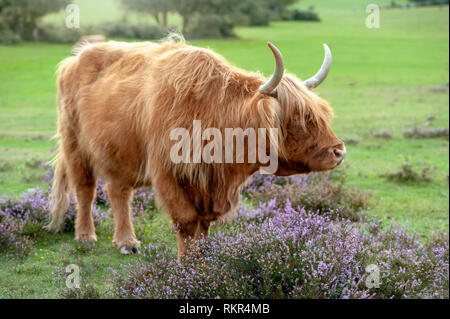 Close-up image of a highland cow grazing amongst the summer Heather in the New Forest National Park, Hampshire, England, UK - Stock Photo