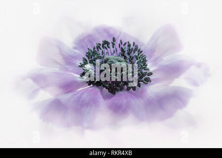 Close-up, high-key image of the beautiful Anemone coronaria De Caen Group purple flower - Stock Photo