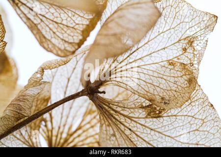 Bare skeletal structure of  Hydrangea flowers in winter. - Stock Photo