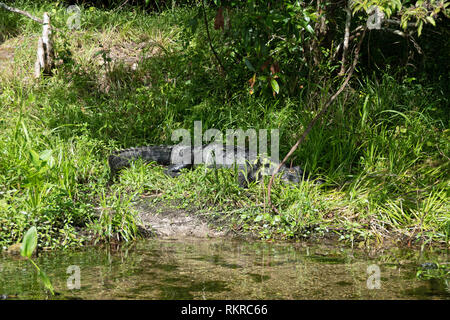 American alligator (Alligator mississippiensis) resting on the river banks of Edward Ball Wakulla Springs State Park in Florida, USA. Wild animals and - Stock Photo