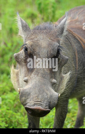 Portrait of a Warthog Phacochoerus africanus in Mole NP, Ghana - Stock Photo