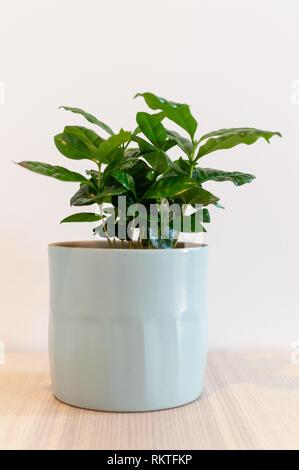 Coffea Arabica indoor plant in decorative pot against white background - Stock Photo