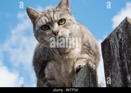 A grey and white tabby cat looks down suspiciously from on top of the fence - Stock Photo