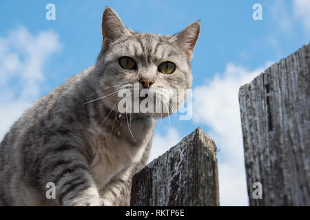 A grey and white tabby cat looks down suspiciously from on top of the fence Stock Photo