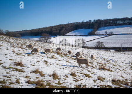 Shhep graze in snow covered fields near the Chiltern village of Fingest, Buckinghamshire. - Stock Photo
