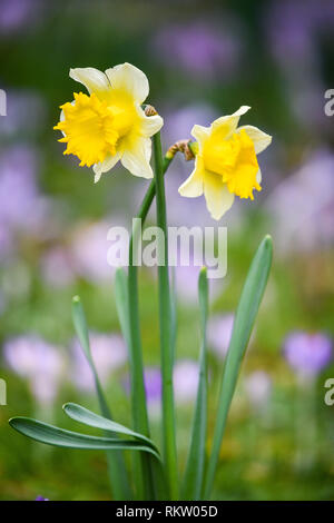 Daffodils blooms among purple crocuses in Royal Victoria Park, Bath, where mild weather has caused an early bloom of the traditional Spring flower. - Stock Photo