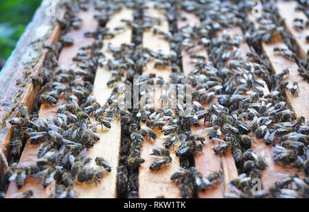 Close up on Honeycomb in the beehive  with bees and honey - Stock Photo