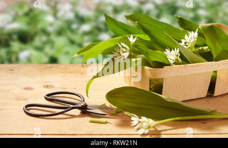 Freshly harvested wild garlic on a garden table with its edible leaves and flowers in a wooden punnet in the spring sunshine - Stock Photo