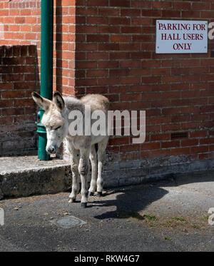 Donkeys standing outside Godshill Village Hall Hampshire, UK on a vey hot sunny summer day. - Stock Photo