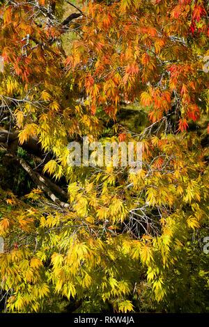 Acer palmatum orange coloured Japanese maple - Stock Photo