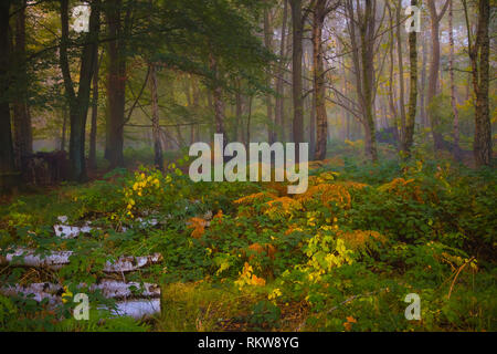 Autumn in a Silver Birch wood. - Stock Photo