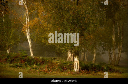 The bright trunks of Silver Birch shine out of the woodland depths. - Stock Photo