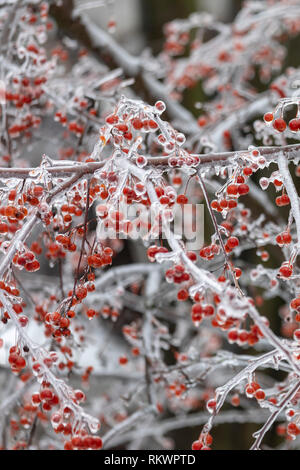 Detroit, Michigan USA - 12 February 2019 - A crab apple tree is coated in ice after snow, sleet, and freezing rain fell in southeast Michigan. Credit: Jim West/Alamy Live News - Stock Photo