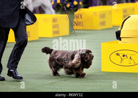 New York, USA. 12th Feb 2019. Westminster Dog Show - New York City, 12 February, 2019:  Sussex Spaniel GCH CH Kamand's Full of Beans, or Bean for short, with his handler after winning the Sporting Group at the 143rd Annual Westminster Dog Show, Tuesday evening at Madison Square Garden in New York City.  It was the second straight year he won the group. Credit: Adam Stoltman/Alamy Live News - Stock Photo