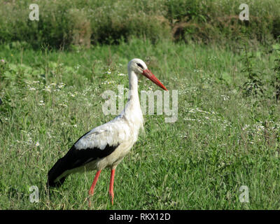 White stork walking in a green grass on a swamp. Stork (Ciconia ciconia) in the wild nature - Stock Photo
