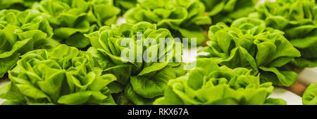 Fresh lettuce leaves, close up.,Butterhead Lettuce salad plant, hydroponic vegetable leaves. Organic food ,agriculture and hydroponic conccept BANNER