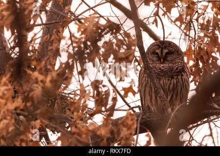 A barred Owl sits all puffed up in a tree on a cold day in Febuary near Pensacola Dam located in  Langley, Oklahoma 2019 - Stock Photo
