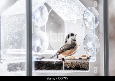 Closeup of black-capped or carolina chickadee bird perched on plastic glass window feeder looking during winter snow or rain in Virginia with seeds - Stock Photo