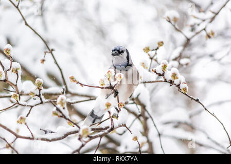 Blue jay Cyanocitta cristata bird perched on tree branch during winter covered in snow in Virginia with snow flakes falling and cherry blossom flowers - Stock Photo