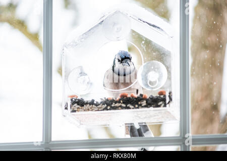 Blue jay Cyanocitta cristata bird perched on plastic glass window feeder looking for food during winter in Virginia with seeds - Stock Photo