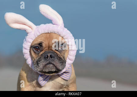 French Bulldog dog dressed up with easter bunny costume headband and ribbon - Stock Photo
