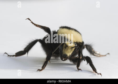 Yellow-faced Bumblebee (Bombus vosnesenskii) Queen - Stock Photo
