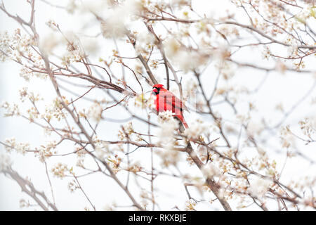 One red northern cardinal, Cardinalis, bird sitting perched on cherry blossom flower tree branch in Virginia spring springtime season colorful vibrant - Stock Photo