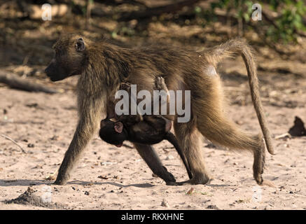 Baboon mother with a child on the bank of the Chobe River in Botswana - Stock Photo