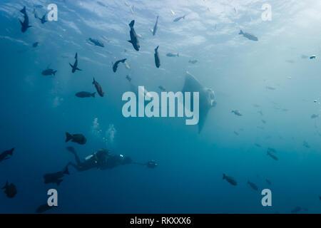 Film crew scuba divers photograph several  giant manta rays - Stock Photo