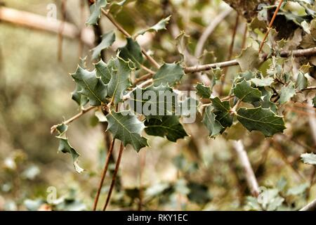 Ilex Aquifolium leaves texture in the forest - Stock Photo