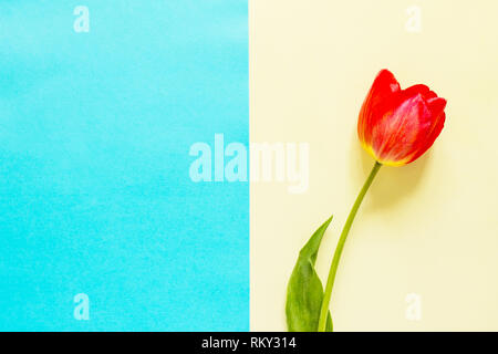 Spring flowers tulips on a blue and yellow background. Minimal easter concept. Flat lay, top view background. - Stock Photo
