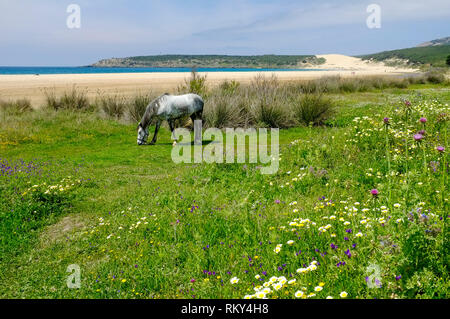 A grazing horse in a wild flower meadow next to the deserted beach and sand dunes at Bolonia Bay, Costa de la Luz, Andalucia, Spain