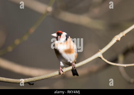 Goldfinch (Carduelis carduelis) - Stock Photo