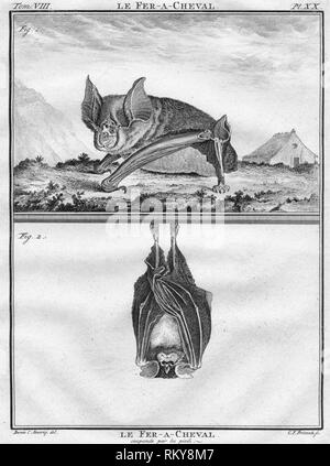 "'Le Fer-A-Cheval & Le Fer-A-Cheval suspendu par les pieds', c1763. The Greater horseshoe bat showin on all fours, and hanging upside-down. The ""Histoire Naturelle, générale et particulière, avec la description du Cabinet du Roi"", (Natural History, General and Particular, with a Description of the King's Cabinet) was written 1749-1804 by the Comte de Buffon, and was continued after his death. It was a monumental work in multiple volumes, and covered what was known of the 'natural sciences' at the time, including physics, chemistry and technology as well as the natur - Stock Photo"