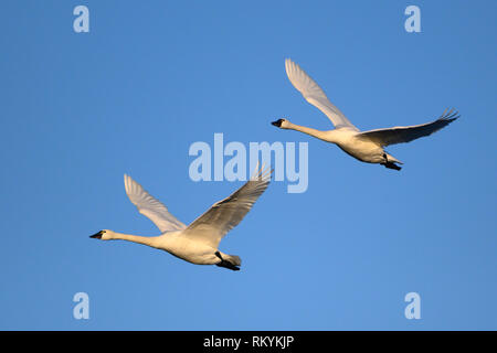 Tundra Swans at William L. Finley National Wildlife Refuge, Willamette Valley, Oregon. - Stock Photo