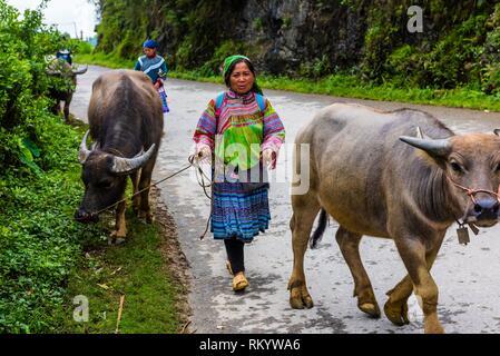 Flower Hmong (hill tribe) women bringing water buffalo from the Sunday market at Bac Ha (near Sapa) northern Vietnam. - Stock Photo
