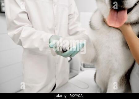 Veterinarian doctor holding white paw of cute, pretty big dog. Tongue and paw of beautiful alaskan malamute. Animal on examination in professional clinic. - Stock Photo