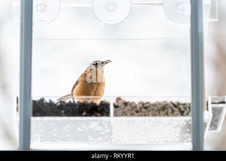 Carolina wren bird sitting perched on plastic glass window feeder perch in winter curious taking seeds feed in Virginia - Stock Photo