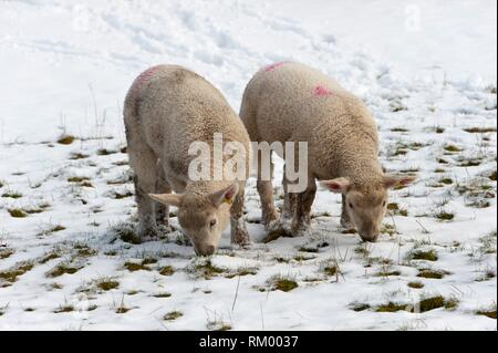 Lambs forage for grass in a snowy field nearthe tiny Welsh hamlet of Llanddewi'r Cwm in Powys, UK. - Stock Photo