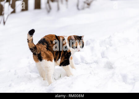 Calico cat unhappy outside outdoors in backyard during snow snowing snowstorm by wooden fence in garden on lawn curious exploring - Stock Photo