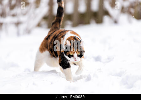 Calico cat outside outdoors in backyard during snow snowing snowstorm by wooden fence in garden on lawn walking curious exploring - Stock Photo