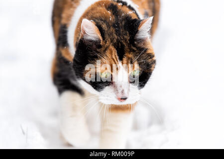 Calico cat face closeup outside outdoors in backyard during snow snowing snowstorm by wooden fence in garden on lawn walking curious exploring - Stock Photo
