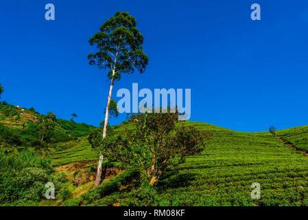 Women picking tea, tea plantation, near Nuwara Eliya, Central Province, Sri Lanka. - Stock Photo