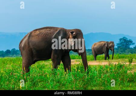 Elephants, Udawalawe National Park, Sri Lanka. Udawalawe is an important habitat for water birds and Sri Lankan elephants. - Stock Photo