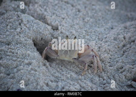 A Horned Ghost Crab (Ocypode ceratophthalma) digging in the sands of Diani Beach, Kenya.