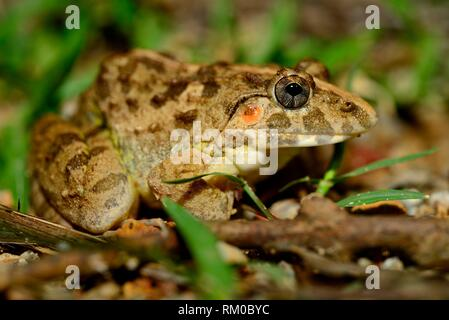 Asian grass frog (Fejervarya limnocharis) in surroundings of a pond in Kep, Cambodia. - Stock Photo