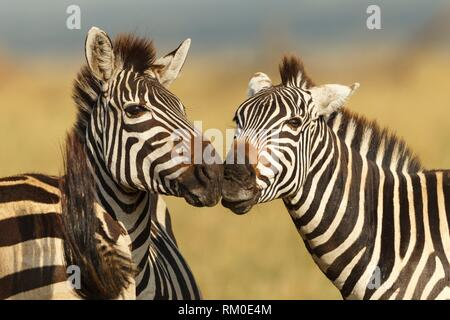 Two Grévy´s zebra. Equus grevyi. Kenia. Africa. - Stock Photo