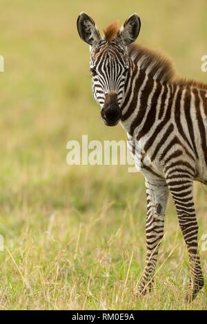 Young Grévy´s zebra. Equus grevyi. Kenia. Africa. - Stock Photo