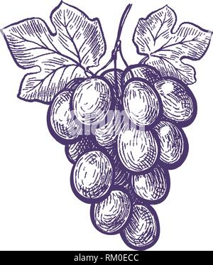Hand drawn bunch of grapes. Fruit, vineyard, wine sketch. Vintage vector illustration - Stock Photo
