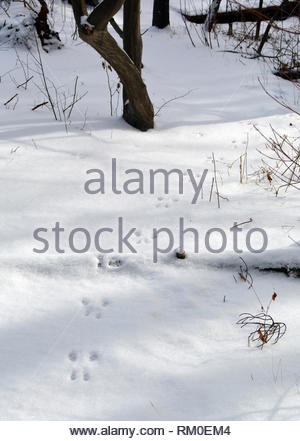 Rabbit tracks in snow - Stock Photo